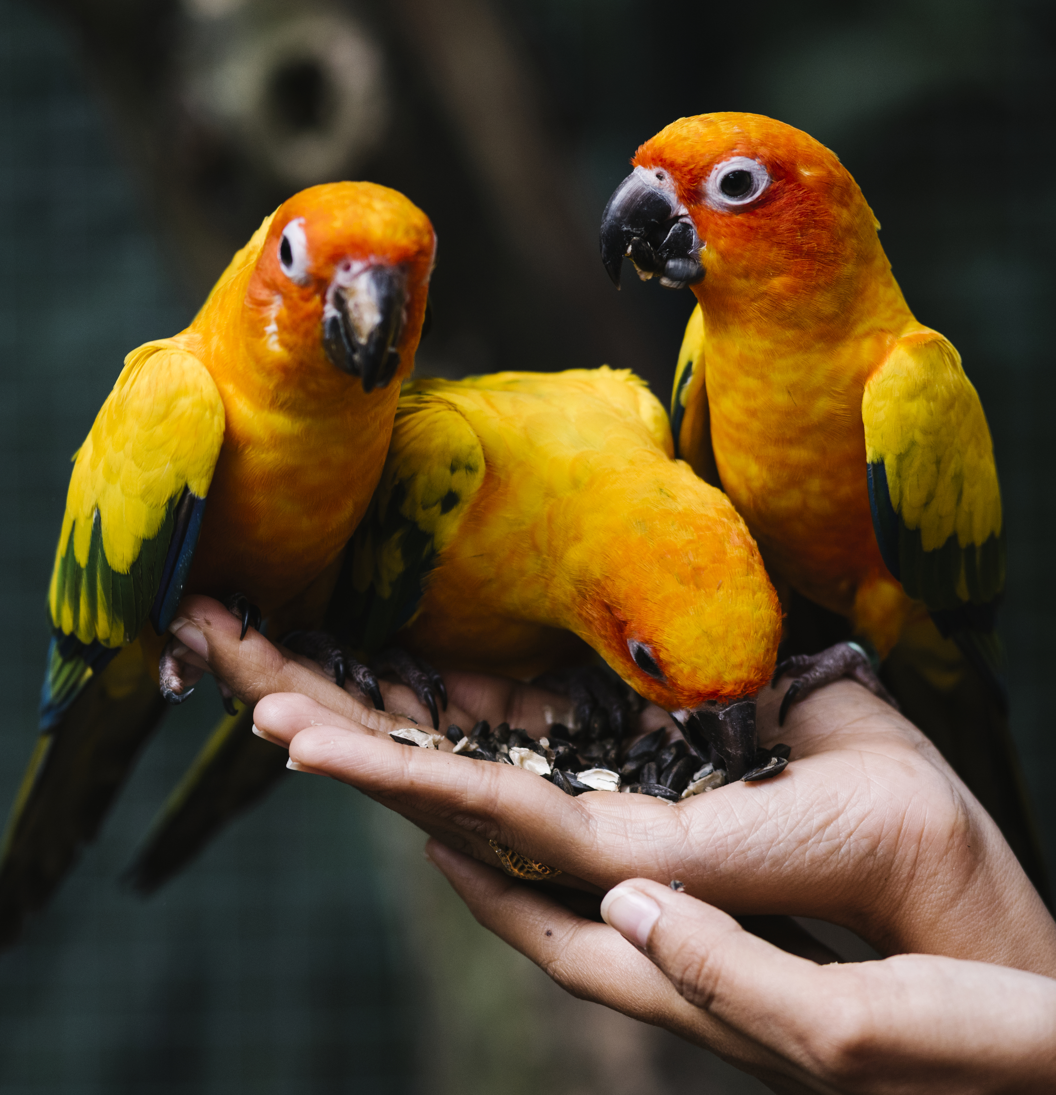 Three yellow birds perched on an open hand eating seeds