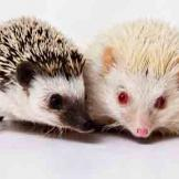Picture of hedgehogs from Hands on Exotics